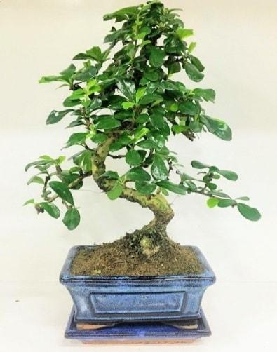 S Bonsai japon ağacı bitkisi  Mardin uluslararası çiçek gönderme