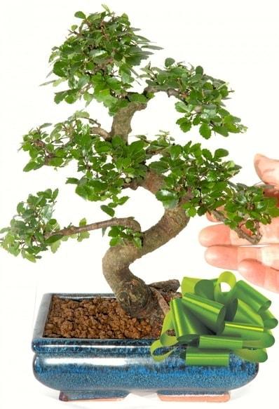 Yaklaşık 25 cm boyutlarında S bonsai  Mardin çiçek siparişi sitesi