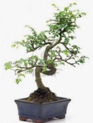 S gövde bonsai minyatür ağaç japon ağacı  Mardin çiçek satışı