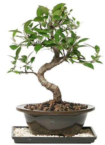 Altın kalite Ficus S bonsai  Mardin çiçekçi telefonları  Süper Kalite