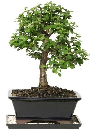 15 cm civarı Zerkova bonsai bitkisi  Mardin çiçek siparişi sitesi