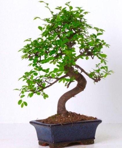 S gövdeli bonsai minyatür ağaç japon ağacı  Mardin çiçek gönderme sitemiz güvenlidir