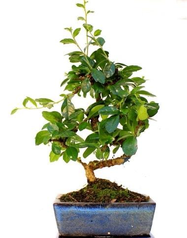 S gövdeli carmina bonsai ağacı  Mardin çiçek yolla  Minyatür ağaç