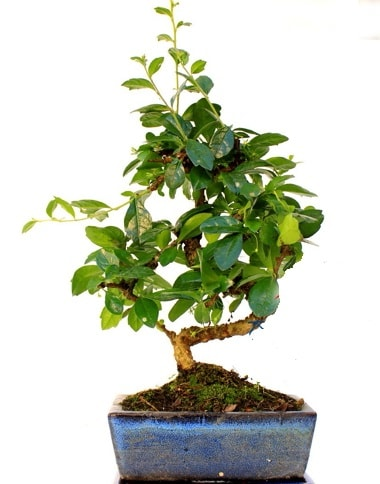 Bonsai Minyatür Ağaç Bonzai S Gövde  Mardin internetten çiçek satışı