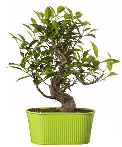 Ficus S gövdeli muhteşem bonsai  Mardin çiçek siparişi sitesi