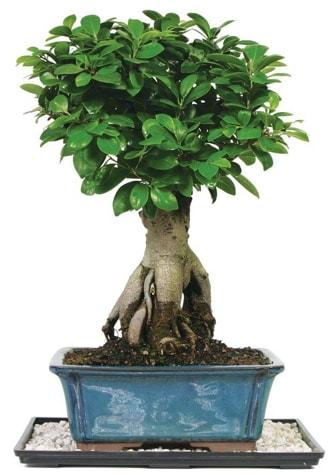 Bonsai Ginsing Grafted Ficus Bonsai  Mardin çiçek yolla