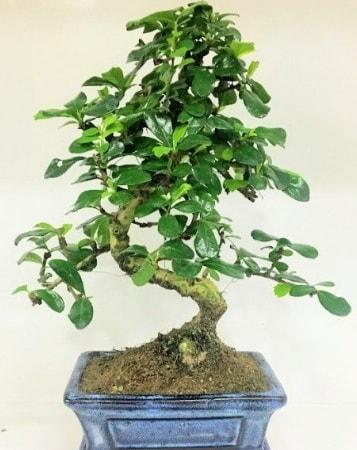 Zelkova S gövdeli Minyatür ağaç Bonzai  Mardin çiçek gönderme