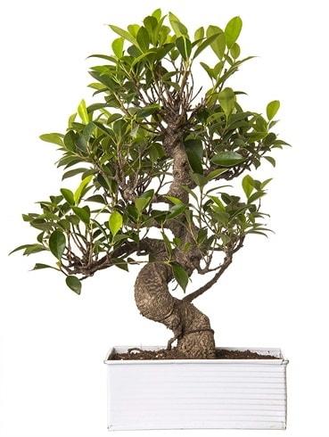 Exotic Green S Gövde 6 Year Ficus Bonsai  Mardin çiçek gönderme sitemiz güvenlidir