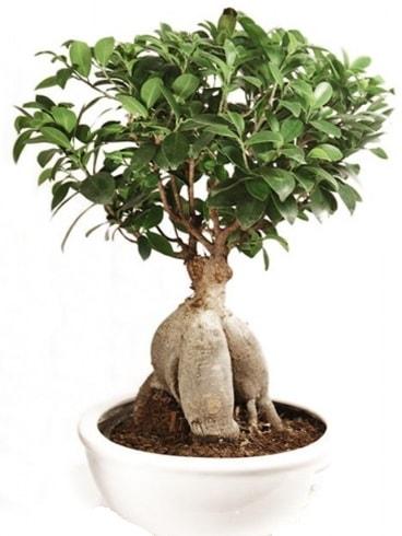 Ginseng bonsai japon ağacı ficus ginseng  Mardin İnternetten çiçek siparişi