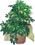 Mardin internetten çiçek siparişi  Schefflera gold